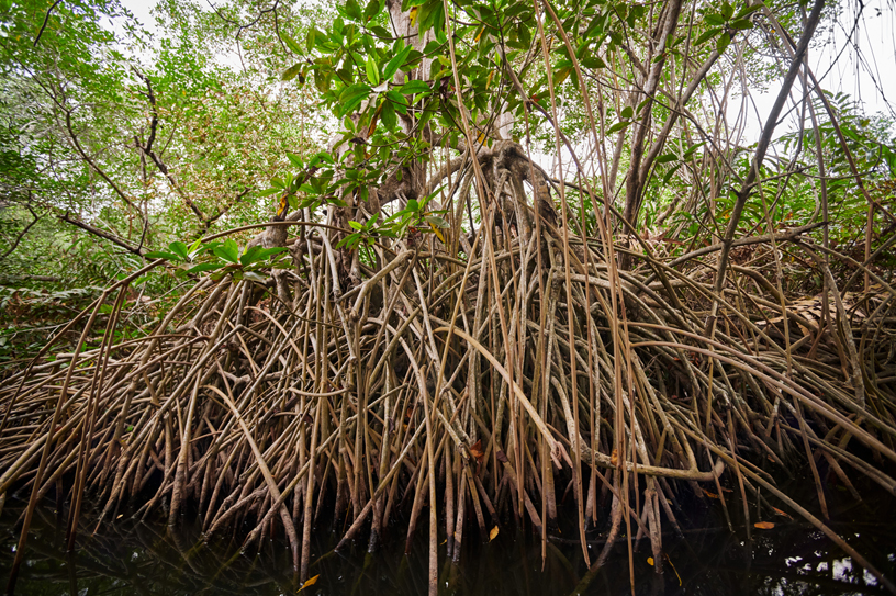 Mangroves thrive in saltwater.