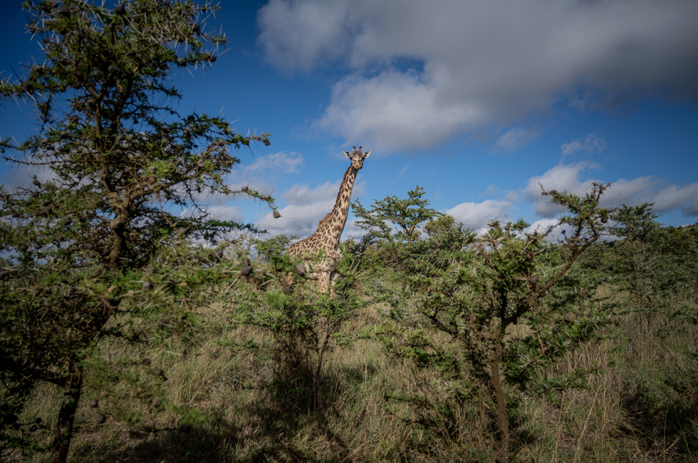 A giraffe in a savanna in Kenya.